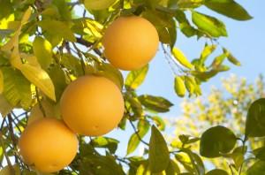 grapefruit-diet05248-top